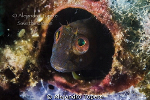 Blenny inspiration, Veracruz Mexico by Alejandro Topete 
